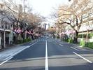 中野通り桜2012(南)4.1