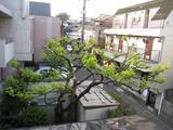 柿(2009.04.30新緑)