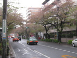 中野通り桜(080410南方面)