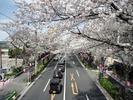 中野通り桜2012(新井小前歩道橋)4.6