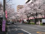 中野通り桜(080327南方面)