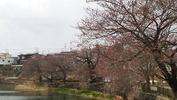 牛池(20140406)桜「開花前0分」
