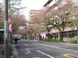 中野通り桜(080409南方面)