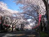 中野通り桜(080401北方面)