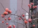 柿-2010(自宅12.19)2