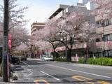 中野通り桜(080405南方面)