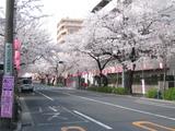 中野通り桜【満開】(080328南方面)