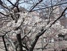 中野通り桜2012(自宅前)4.3