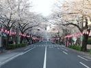 中野通り桜まつり2013(3.23)松が丘南