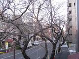 中野通り「桜」 2009.03.21-n