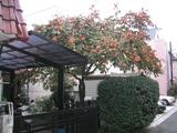 実家の柿[061126]