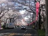 中野通り桜(080329北方面)