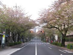 桜-2010(中野通り[南]04.18)