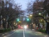 桜2011(中野通り:南)12.01