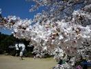 中野通り桜2012(哲学堂公園)4.8
