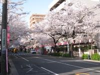 中野通り桜(080402南方面)