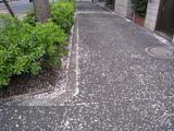 中野通り桜(080404歩道)