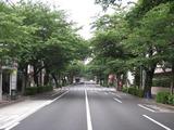 桜2011(中野通り:南)6.1