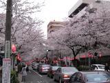 中野通り「桜」 2009.04.04-sPM