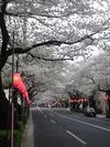 中野通り桜まつり2013(3.27)西武線踏み切り北