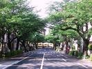 中野通り桜2012(南)5.5