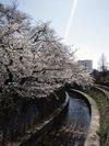 中野通り桜2012(哲学堂妙正寺川)4.8