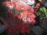 紅葉(モミジ071209)