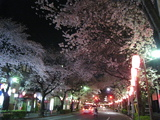 中野通り桜(080329夜桜-1)
