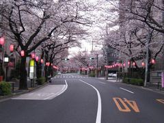桜-2010(中野通り[北]04.01)