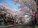 中野通り桜(080403北方面)