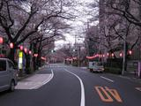 桜-2010(中野通り[北]03.29)