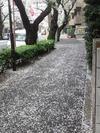 29)桜吹雪2