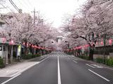 桜-2010(中野通り[南]04.03)