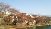 牛池「桜」(20140408)開花前