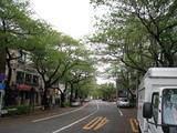 中野通り桜(080419北方面)