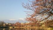牛池桜(20140410)南アルプス