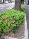ツツジ2011(中野通り1)4.18