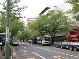 中野通り桜(080419南方面)