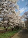桜(20150417)蕪並木2