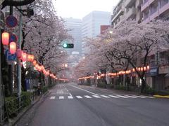 桜-2010(中野通り[新井町]04.06)