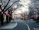 中野通り桜2012(北)4.7