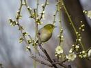 立春「梅とメジロ」