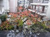 「柿」収穫(2008.12.14-雨天中止)