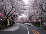 桜-2010(中野通り[北]04.03)