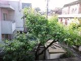 柿2011(芒種6.6)
