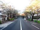 中野通り桜2012(南)10.1