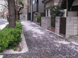 桜-2010(中野通り[掃除:歩道]04.11)