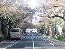 中野通り桜2012(南)4.15