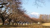 北の杜CC通り桜(20140410)南アルプス