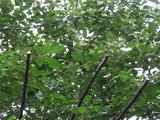 桜-2010(中野通り[剪定アップ]06.05)